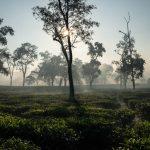 Tea gardens, Upper Assam